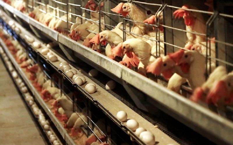 تخم مرغ کیلویی 12 هزارتومان به شرط تامین 100 درصدی خوراک طیور!